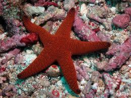 Bintang Laut, melakukan regenerasi