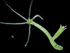 Hydra, hewan bertunas